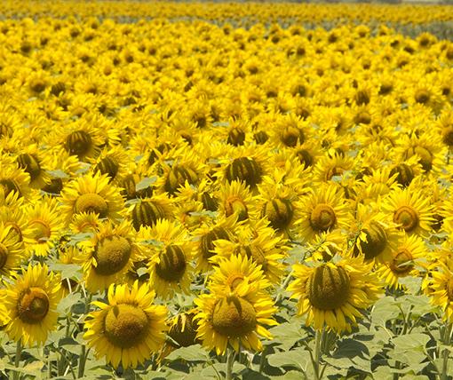 sunflower-50